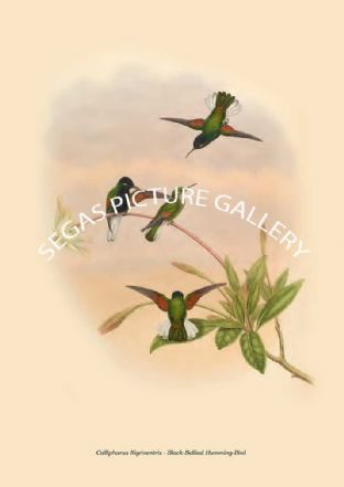 Callipharus Nigriventris - Black-Bellied Humming-Bird